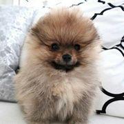 Pomeranian Zwergspitz Boo Welpen