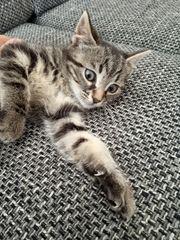 9 Wochen alte Babykatzen
