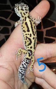 Leopardgecko Babys 2019