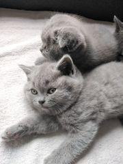 Reinrassige Kätzchen BH