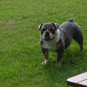 Miniaturbulldogge