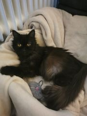 Süße Perser Katze