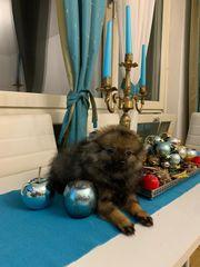 Pomeranian Zwergspitz Lady Name Simo