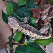 Kronengecko Männchen Crested Gecko