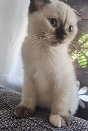 Bkh Kitten ab sofort abgebbar