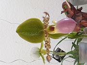 Orchidee frauenschuh paphiopedilum Pinocchio