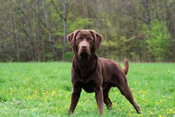 Labrador Schokobraun