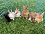 Verkaufe süße Hasen Kaninchen Stallhasen