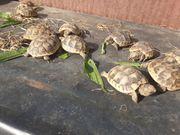 Maurische Baby-Schildkröten Testudo graeca ibera