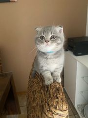 britische Kurzhaar kitten