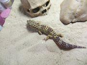 Leopardgeckos 4 Weibchen 1 Männchen