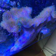 Meerwasser weichkorallen oder Lederkorallen XL
