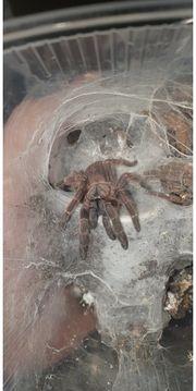 Vogelspinnen zu verkaufen