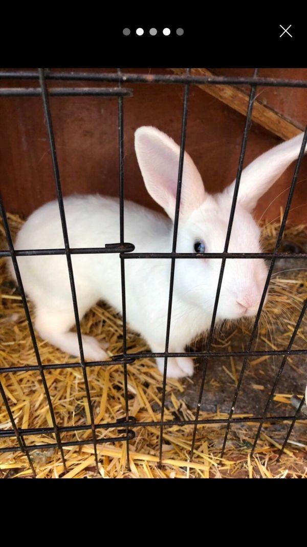 Kaninchen rammler