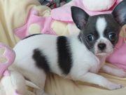 Chihuahua Mädchen weiß-blau