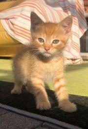 Kater EKH Kitten Sir William