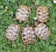 Griechische Landschildkröten Insel Rab