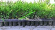 Thuja Smaragd - Sämlinge 5-15 cm