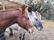 Biete Reitbeteiligung auf 2 Pferden