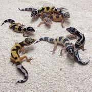 kommende Leopardgecko nz morph steht