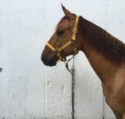 Typvoller Quarter Horse Wallach zu