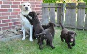 Familienfreundliche Labrador Welpen 9 Wochen