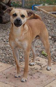 Django lebhafter Chihuahuamix ca 2