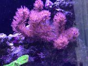 Gorgonie Braun Hornkoralle Meerwasser