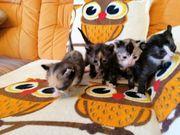 Mix Sphynx Elf Katzen Babys