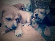 Boxer Labrador Griffon Mix Welpen