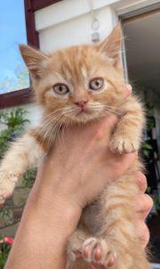 Perser BKH Kitten