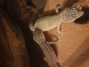 Geckos und Terrarium