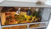 3 Leopardgeckos mit Terrarium