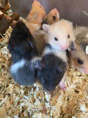 Baby Hamster abzugeben