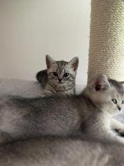 Reinrassige BKH Kitten Lilac Blue