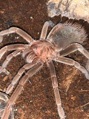 Xenesthis immanis Xenesthis sp bright