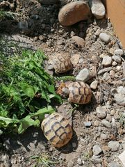 Maurische Landschildkröten Nachzuchten von 2018