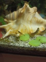 algen garnelen