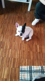 Französische bulldogge 8 Monate alt