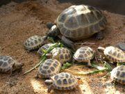 Griechische Vierzehen Maurische Breitrand Landschildkröten