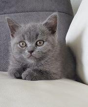 BKH Kitten Mädchen