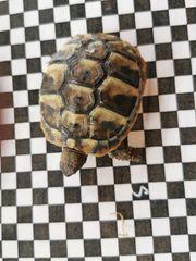 Griechische Landschildkröte Schildkröte