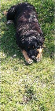 Wurfankündigung Familienhunde Wachhunde