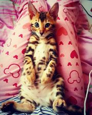 Süße reinrassige Bengal Kitten Kater