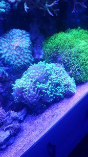 Euphyllia Koralle