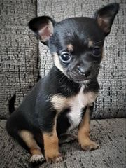 Chihuahua mini welpen vjvj