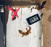 Weibliche Leopardgeckos 0 2