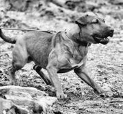 Suche erwachsenen Heideterrier Terrier-Mix