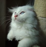 Weißes Fellwunder mit Schlappohren Hundkatze
