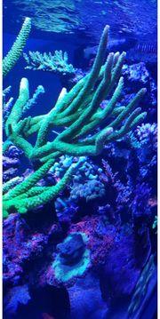 Acropora Spicifera Meerwasser sps Ableger